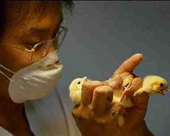 Σεξολόγος για κοτόπουλα