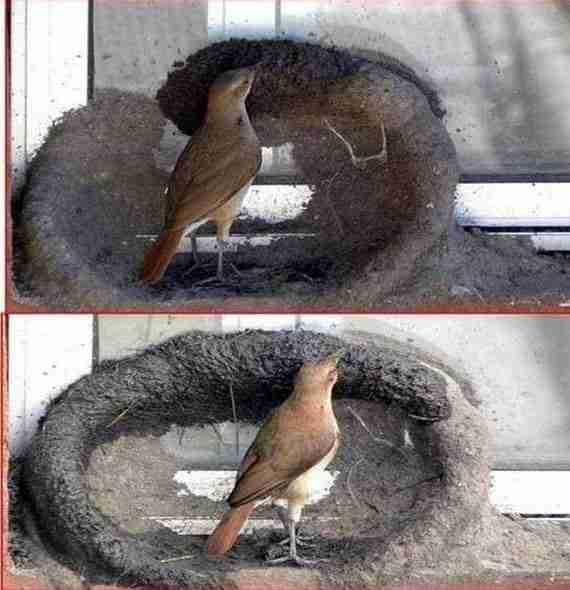 Πουλιά χτίζουν την φωλιά τους