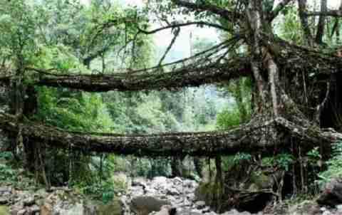 Γέφυρες χτισμένες από την φύση!