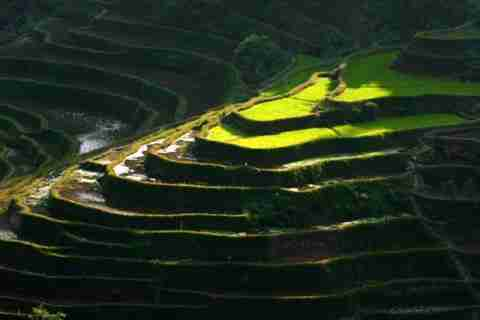 Εντυπωσιακές καλλιέργειες ρυζιού