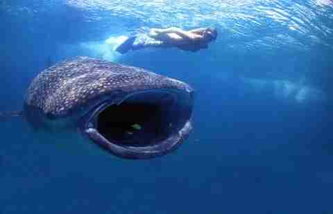 Ο μεγαλύτερος καρχαρίας των ωκεανών