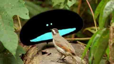 Το υπέροχο πουλί του παραδείσου!