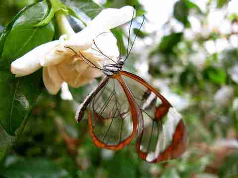 Η πεταλούδα με τα διαφανή φτερά!