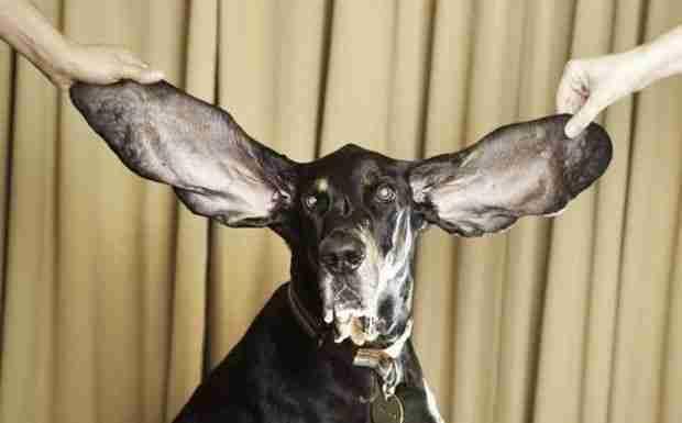 Ο σκύλος με τα μακρύτερα αυτιά στον κόσμο