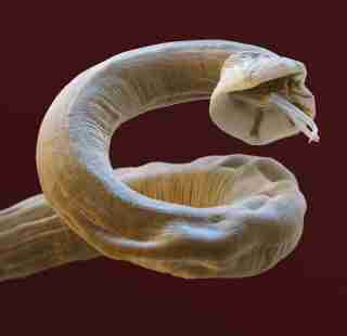 Filarial Worm