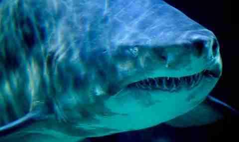Καρχαρίας τίγρης