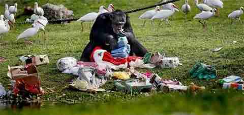 Ο Αγιος Βασίλης επισκέπτεται και τους Χιμπατζήδες!