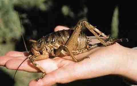 Το μεγαλύτερο έντομο στον κόσμο