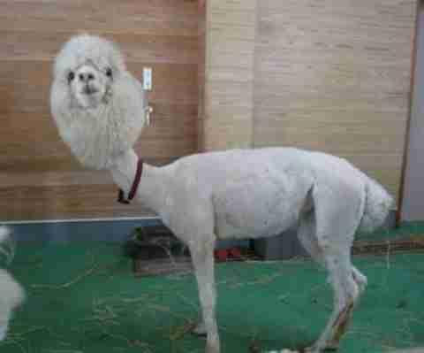 25 αστεία κουρέματα ζώων