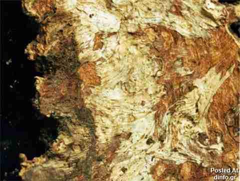 Armillaria Ostoyae; 2,400 years old