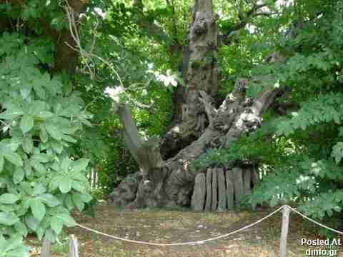 Chestnut Tree; 3,000 years old