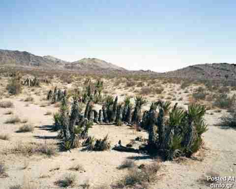 Clonal Mojave Yucca; 12,000 years old