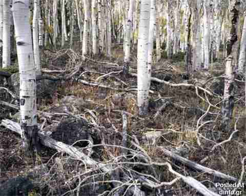 Clonal Quaking Aspens; 80,000 years old
