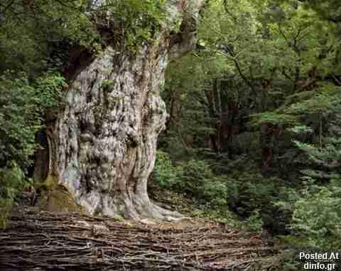 Jomon Sugi Japanese Cedar; 2,000-7,000 years old