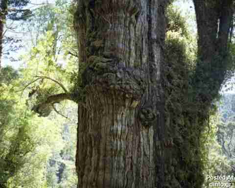 Patagonian Cypress; 2,200 years old