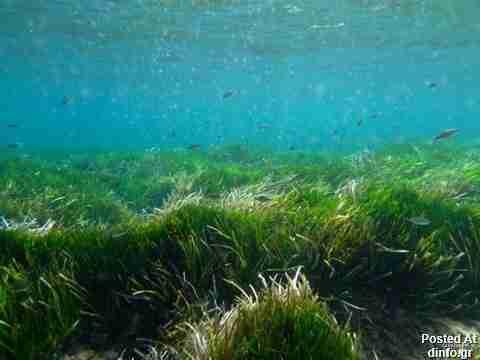 Posidonia Oceania Sea Grass; 100,000 years old