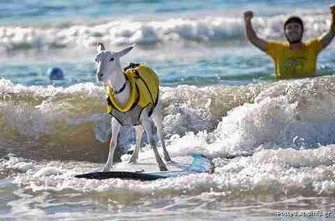 Η κατσίκα που λατρεύει το surfing