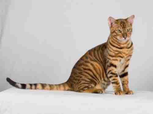 Δεν είναι γάτα, δεν είναι τίγρης, είναι η Toyger