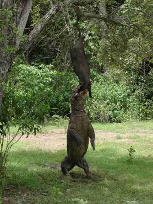 Ο τρομακτικός δράκος του Κομόντο