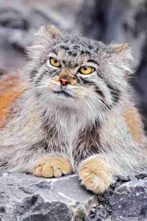 Manul, η πρόγονος της σημερινής γάτας