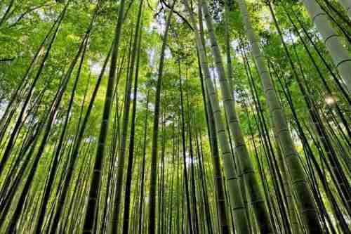 Ένα δάσος από μπαμπού