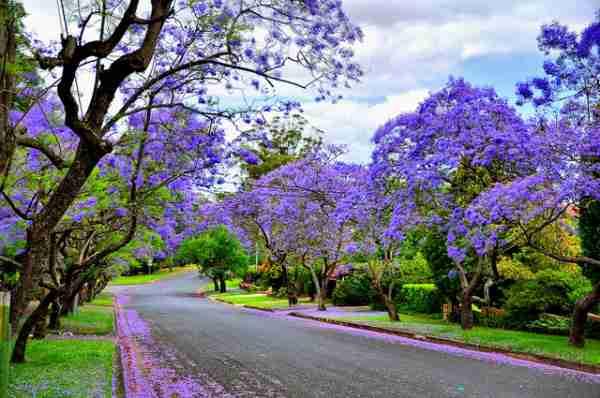 Οι μωβ δρόμοι του Σίδνεϊ