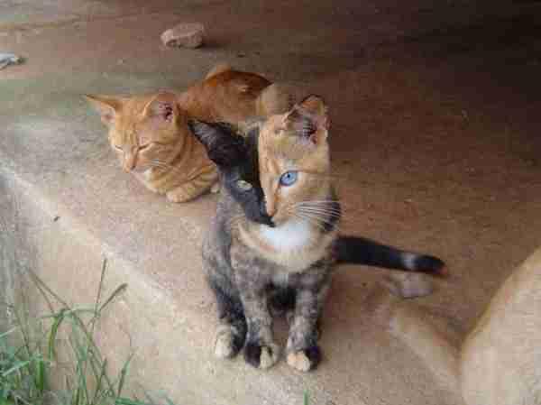Venus, η γάτα με τα δυο.. πρόσωπα!