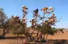 Εκεί που στα δέντρα φυτρώνουν.. κατσίκες