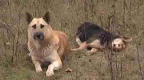 Ένας σκύλος στέκεται επί 7 μέρες πάνω από το πτώμα της φίλης του