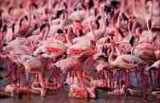 Μια θάλασσα από ροζ φλαμίνγκο