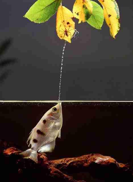 Archerfish, το ψάρι νεροπίστολο
