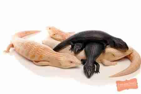 Μια σαύρα Αλμπίνο συναντά μια σαύρα με μελανισμό