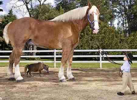 Το ψηλότερο άλογο στον κόσμο συναντά το κοντύτερο