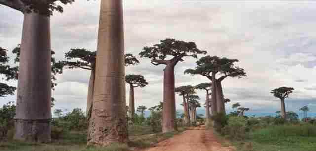 Ο δρόμος με τα Baobabs, Μαδαγασκάρη