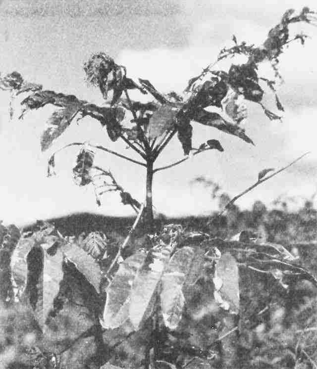 Τα δέντρα που επέζησαν της πυρηνικής καταστροφής στη Χιροσίμα