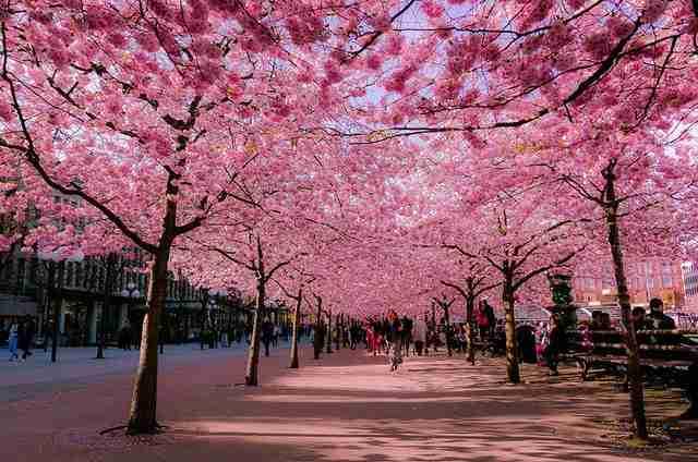 Sakura, το σύμβολο της Άνοιξης στην Ιαπωνία