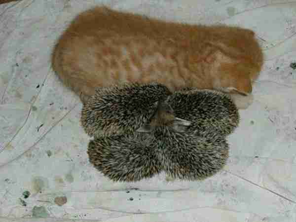 Cat-Becomes-Mother-of-Hedgehogs-600x450
