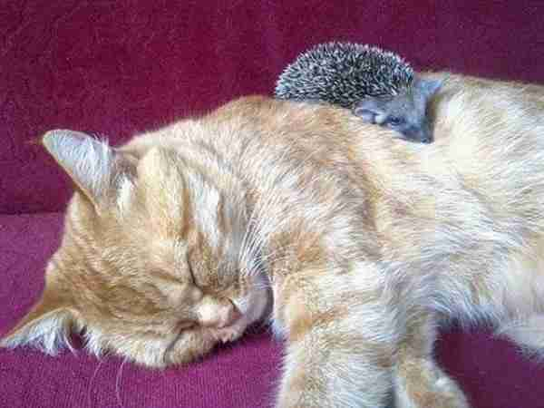 Cat-Becomes-Mother-of-Orphaned-Hedgehogs-600x450