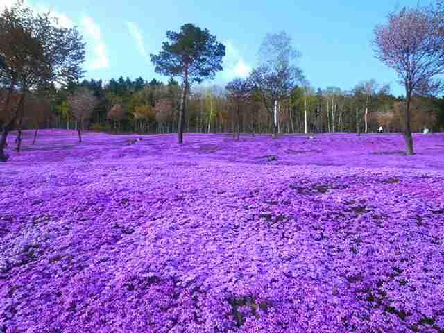 Shibazakura Flowers, Takinoue Park, Japan