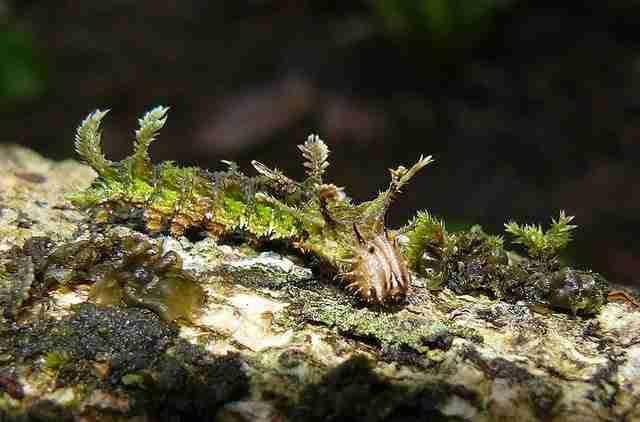 Adelpha Serpa Selerio Caterpillar