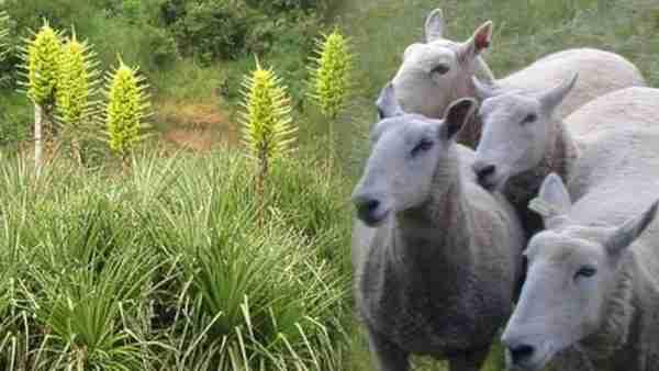 Puya chilensis, το φυτό που τρώει.. πρόβατα!