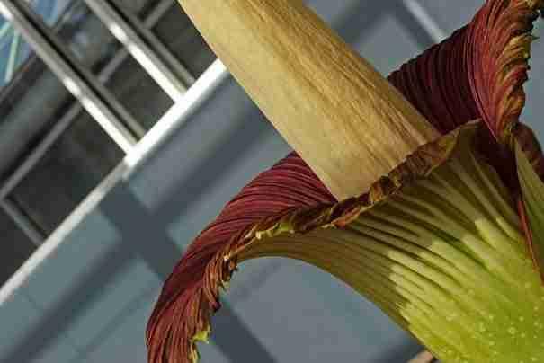 Αμορφόφαλους Τίτανουμ, το λουλούδι πτώμα!