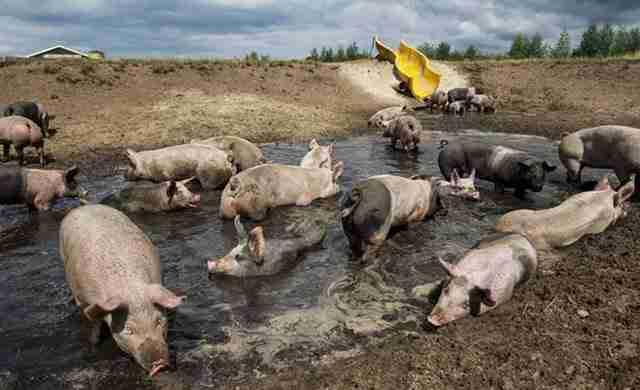 Αγρότης κατασκεύασε νεροτσουλήθρα για τα γουρούνια του