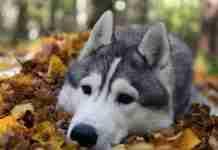 Το χάσκυ που τρελαίνεται να παίζει με τα φύλλα