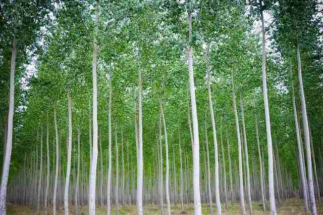 Ένα σουρεαλιστικό δάσος από λεύκες
