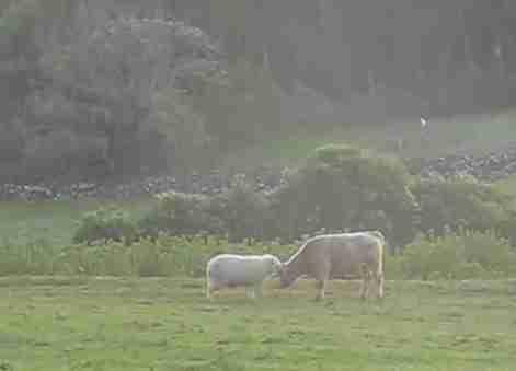 Πρόβατο εκπαιδεύει ταύρο