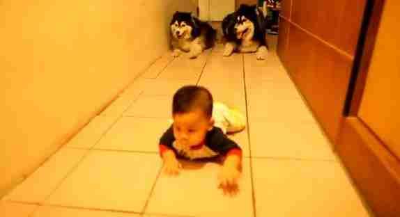 Σκύλοι μιμούνται μωρό που μπουσουλάει