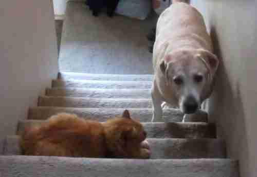 dinfo.gr - Σκύλοι τρομακρατημένοι από γάτες! Ένα δραματικό βίντεο..