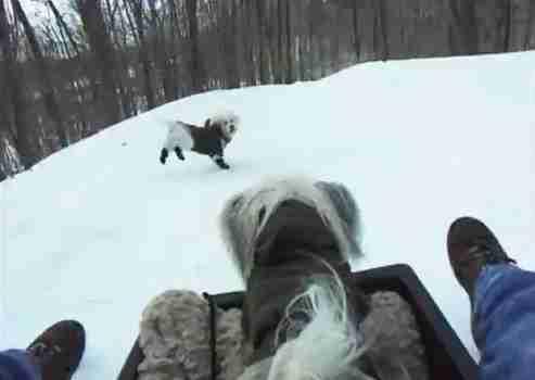 dinfo.gr - Σκύλοι διασκεδάζουν στο χιόνι σέρνοντας έλκηθρα και καταστρέφοντας χιονάνθρωπους