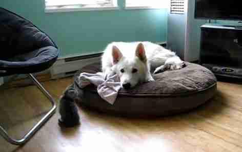 dinfo.gr - dinfo.gr - Μικρό γατάκι εναντίον μεγάλου άσπρου σκύλου